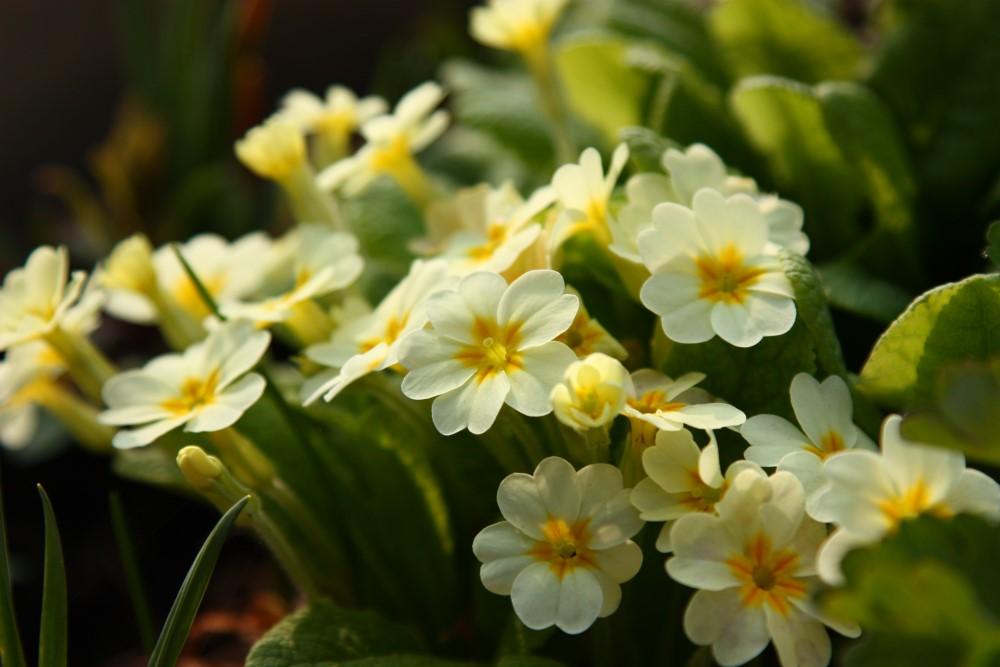 イースターの花と言えば、黄色のプリムローズに水仙