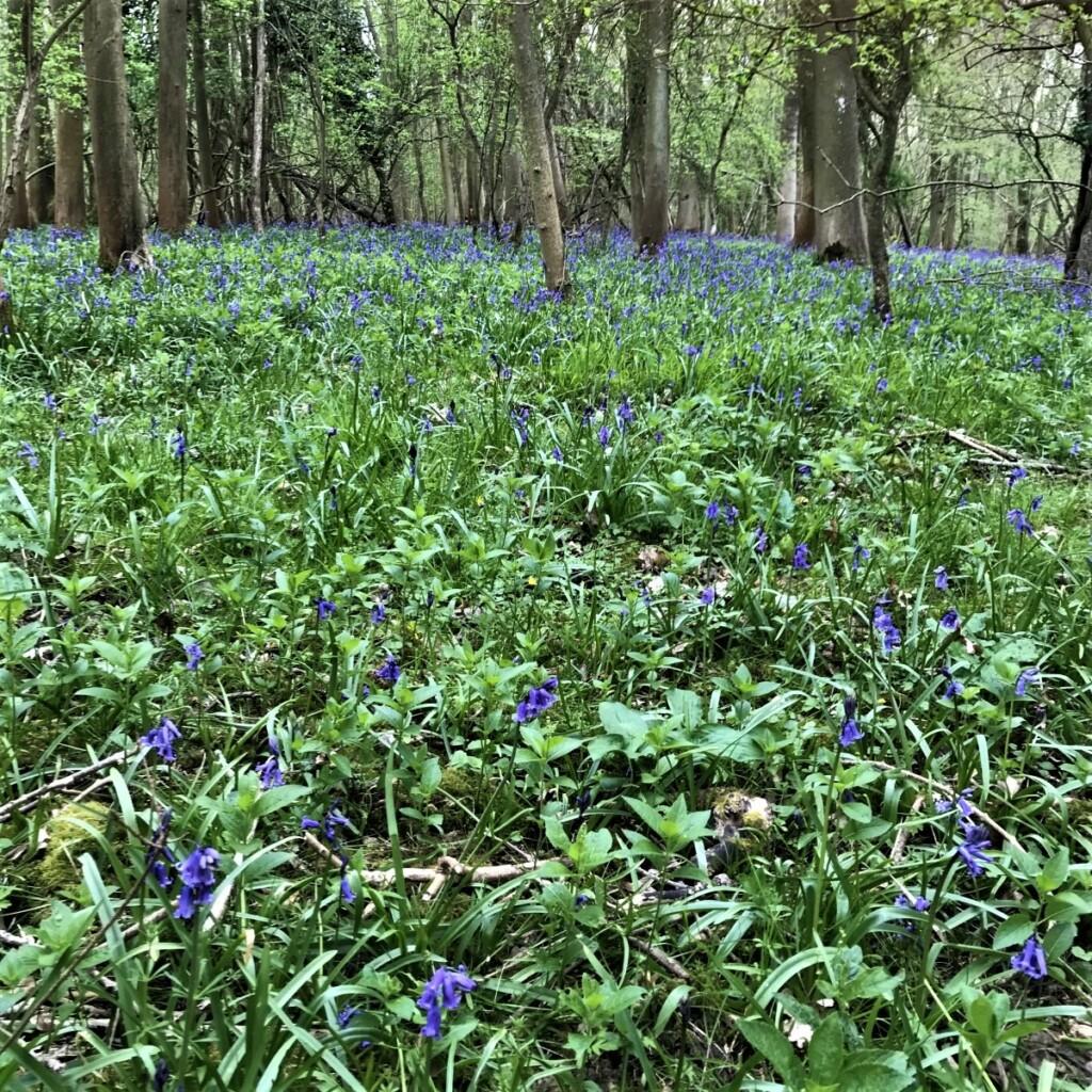林の中のブルーベルの花々