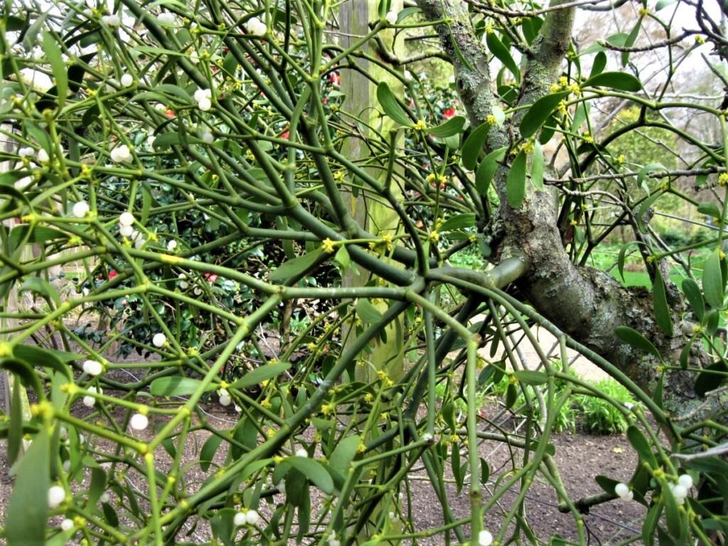 ミスルトウに寄生されたリンゴの木