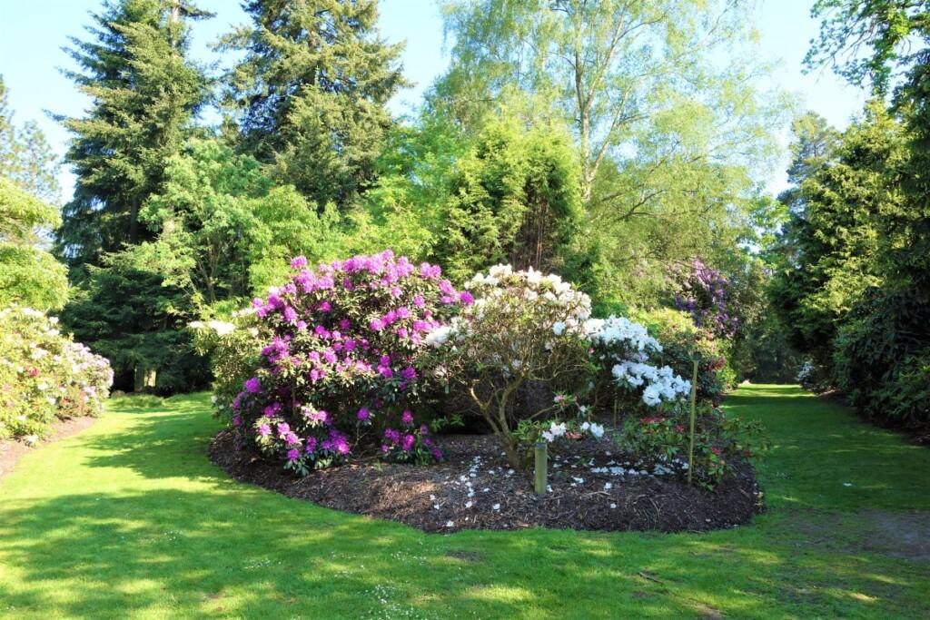バレー・ガーデンに咲き乱れる西洋シャクナゲの群れ