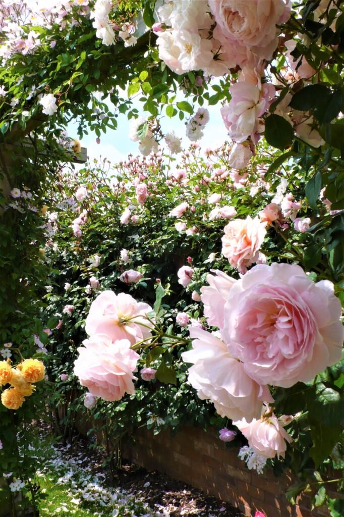イギリスの国花、薔薇