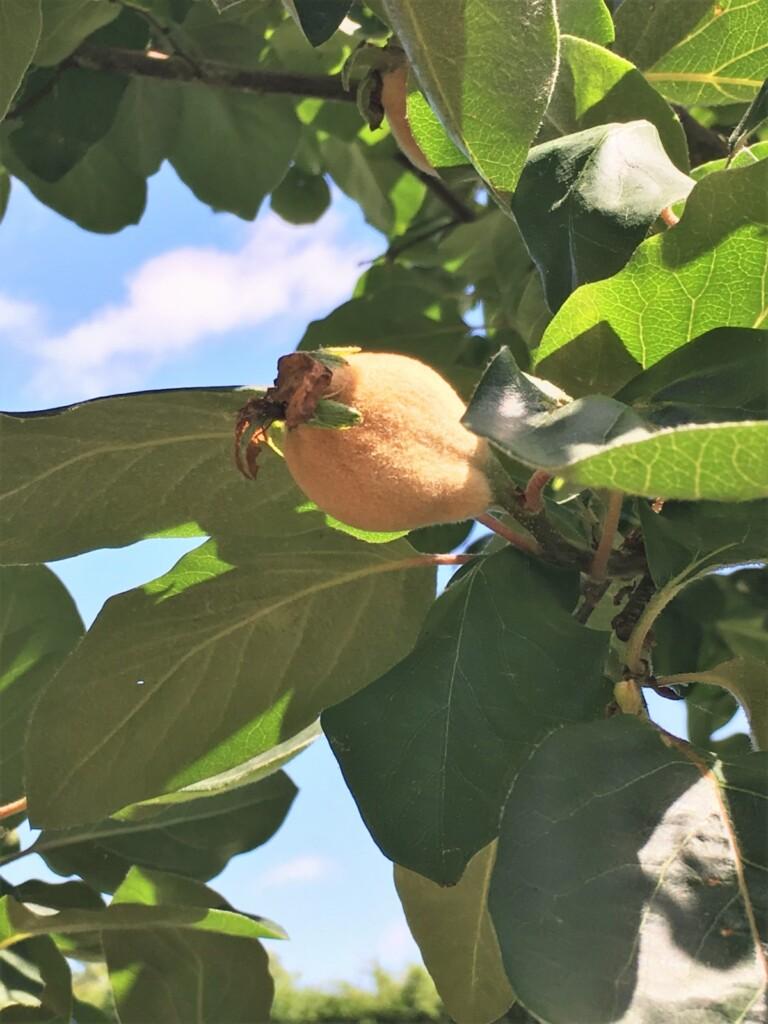 木にマルメロの実がついた姿