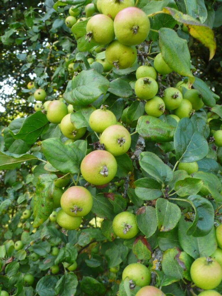 枝になるクラブアップル