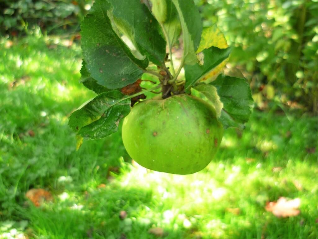 庭の木になるリンゴ